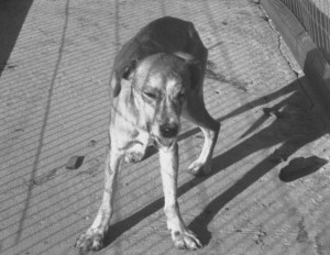 Rabid_dog